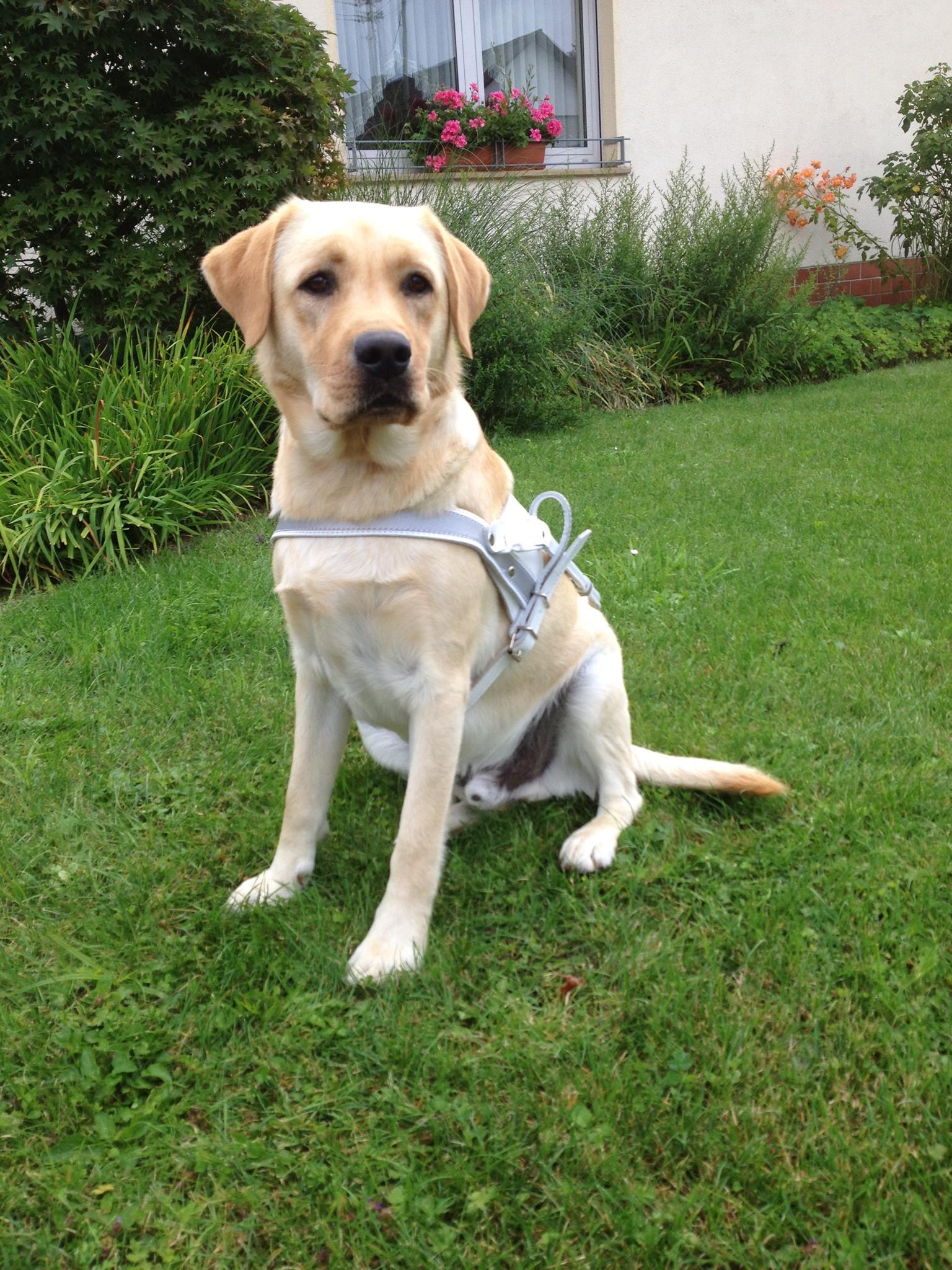 Labrador Und Goldendoodle Blindenfuhrhundschule Seitle