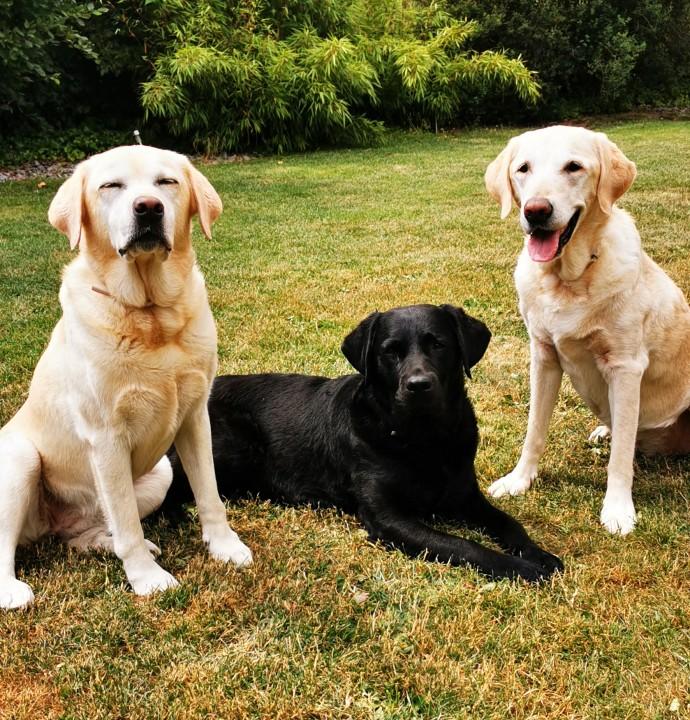 3 Labradore Führhündin Mani in der Mitte